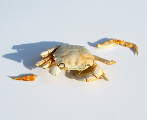 Hemigrapsus sanguineus (Asian shore crab) (Photograph by Martha Andrews Donovan)