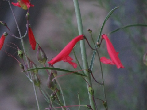 Scarlet Penstemon 2